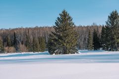 Winter forest landscape. Taiga in the winter. Siberian forest in winter. Snow covered trees. Christmas trees under the snow stock image