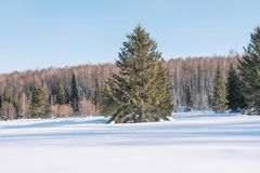 Winter forest landscape. Taiga in the winter. Siberian forest in winter. Snow covered trees. Christmas trees under the snow royalty free stock images
