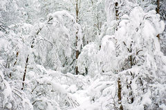 Winter Forest Landscape Tree with Snow Background. Stock Photo