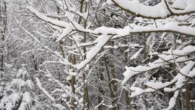 Winter forest landscape. trees branches in the snow. Winter forest landscape. trees branches stock video footage