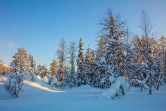 Winter forest landscape - trees covered snow and golden sunlight Stock Images