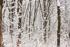 Winter forest landscape Stock Photo