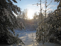 Winter in the forest. Landscape with trees and sunshine Royalty Free Stock Image