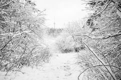 Winter forest in Lithuania Stock Image