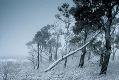 A winter in the forest. A lonely stand of trees covered with snow Royalty Free Stock Photos