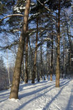 Winter in forest, long darks Royalty Free Stock Image