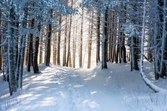 Winter forest with magical light, wintry wonderland. Snow covered tree trunks in winter forest with magical light, wintry wonderland, Vitosha national park royalty free stock photos