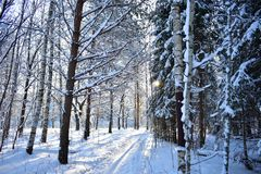 Winter forest majestic and harsh, it is scary to be alone, if you are not used to wander through the forest. But this beauty must not just see, but also feel stock photo