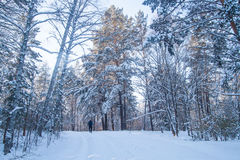 Winter forest with many trees in snow in Siberia Stock Photo
