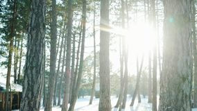 Winter forest, many trees in the snow, the sun`s rays shine through trees in the backlight, lot of snow lying on the