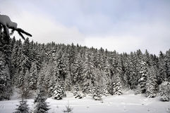 Winter forest in mountain Royalty Free Stock Photo