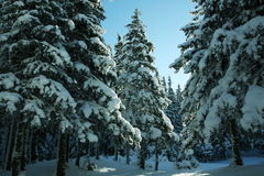 Winter in forest Royalty Free Stock Photography
