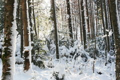 Winter in forest Royalty Free Stock Photo