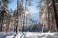 Winter forest and mountains at sunny day Royalty Free Stock Images