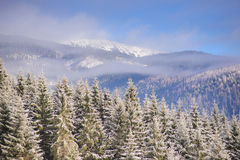 Winter forest in mountains. Sunny winter day. Forest in snow. In the background haze, clouds and blue sky above the mountain range Stock Image