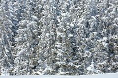 Winter forest ( nature background) Stock Images
