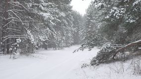 Winter forest nature snowing pine forest with snow landscape beautiful snow winter christmas tree background Royalty Free Stock Photos