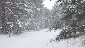 Winter forest nature snowing pine forest with snow landscape beautiful snow winter christmas tree background Royalty Free Stock Images