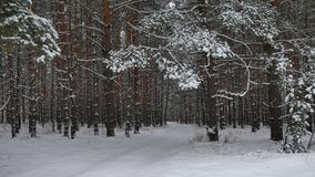 Winter forest nature snowing pine forest with snow landscape snow beautiful winter christmas tree background Royalty Free Stock Photos