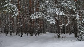 Winter forest nature snowing pine forest with snow landscape snow beautiful winter christmas tree background Royalty Free Stock Image