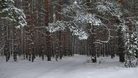 Winter forest nature snowing pine forest with snow landscape snow beautiful winter christmas tree background Stock Photography
