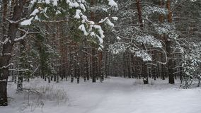 Winter forest nature snowing pine forest with snow landscape winter snow beautiful christmas tree background Royalty Free Stock Photo