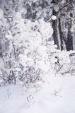 Winter forest nature snowy landscape outdoor background. Royalty Free Stock Photography