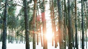 Winter forest, nature in winter, a lot of trees, backlit, sun`s rays rayed through the forest. Snow lying on the ground between the trees, a lot of snow drifts stock video