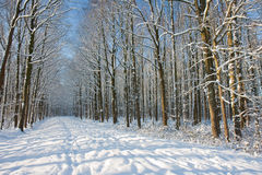 Winter forest in the Netherlands. Trees covered by snow stock image