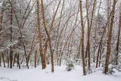 Winter forest. Novosibirsk region, Siberia, Russia. Winter landscape, snow-covered forest. Novosibirsk region, Western Siberia, Russia royalty free stock image