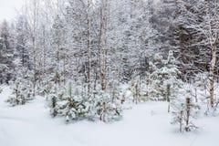 Winter forest. Novosibirsk region, Siberia, Russia. Winter landscape, snow-covered forest. Novosibirsk region, Western Siberia, Russia royalty free stock photography