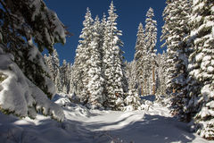 Winter Forest. Old Growth Conifer Forest Covered In Blanket Of New Snow Stock Photo