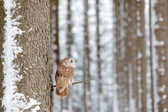 Winter forest with owl. Tawny Owl snow covered in snowfall during winter, snowy forest in background, nature habitat. Wildlife sce. Ne from nature stock photo
