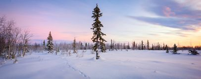 Winter forest panorama spruce hoarfrost red and blue tone dawn Royalty Free Stock Images