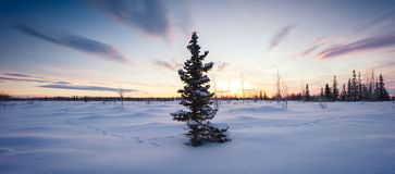 Winter forest panorama spruce hoarfrost red and blue tone dawn Royalty Free Stock Photo