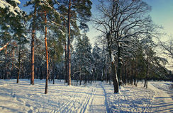 Winter forest park in snow in sunlight Royalty Free Stock Photography
