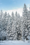 Winter Forest. A part of forest covered by snow in Karkonosze, Poland, near Karpacz town Royalty Free Stock Image