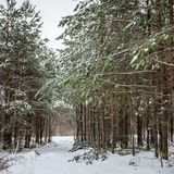 Winter forest path scene Stock Image