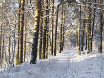 Winter forest. Path in sunny winter forest royalty free stock photo