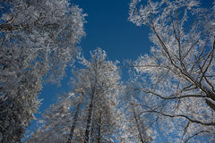 Winter forest in perspective Royalty Free Stock Images