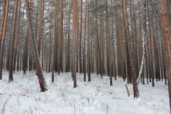 Winter forest. Photo of the winter forest Stock Photos