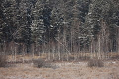 Winter forest. Photo of the winter pine and birch trees forest Stock Photography