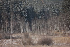 Winter forest. Photo of the winter pine and birch trees forest Stock Photo