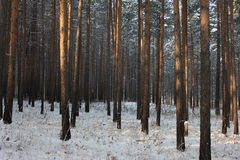 Winter forest. Photo of the winter pine tree forest Stock Photos