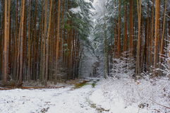 Winter in the forest. Royalty Free Stock Photos