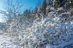 Winter forest. Royalty Free Stock Photography