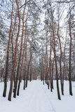 Through the winter forest. Through the winter pine forest Stock Images