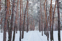 Through the winter forest. Through the winter pine forest Royalty Free Stock Image