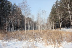 Winter forest. Winter pine and birch tree forest Stock Image