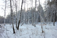 Winter forest. Winter pine and birch tree forest Stock Photos